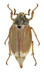 Other Coleoptera