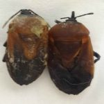Hemiptera no. 2 (Pair) (A1, A2)