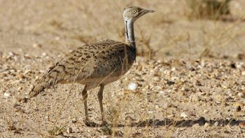 Permalink to: Iran Birdwatching tours